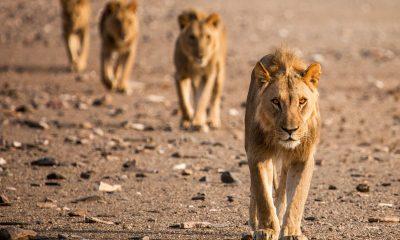 """""""Изчезващите крале – лъвовете на Намиб"""" - в най-старата пустиня на света по VIASAT NATURE 211"""