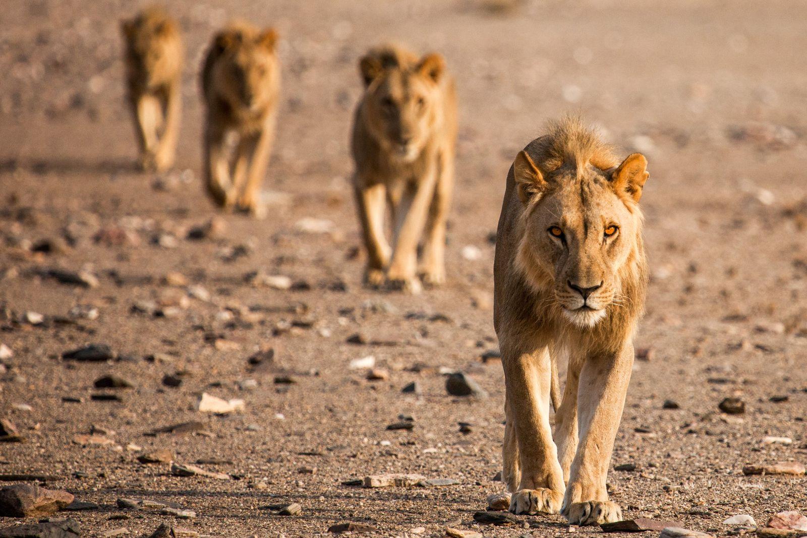 """""""Изчезващите крале – лъвовете на Намиб"""" - в най-старата пустиня на света по VIASAT NATURE 141"""