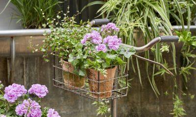 Мушкатото – перфектен избор за начинаещите градинари 217