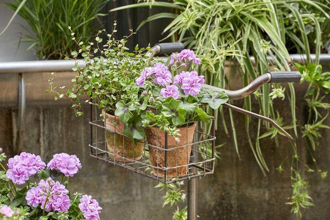 Мушкатото – перфектен избор за начинаещите градинари 142