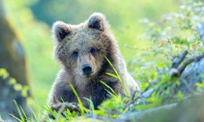 Завръщането на мечките по Viasat Nature 77